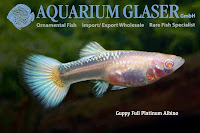 Guppy Full Platinum Albino