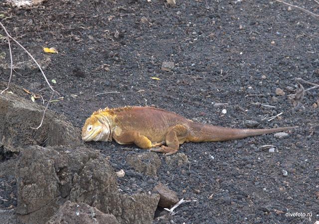Игуана сухопутная Галапагосы