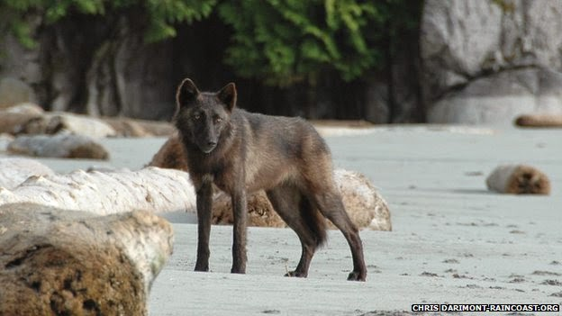 Coastal Wolves: New grey wolf populations found in Canada (PHOTOS-VIDEO)
