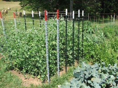 Агротехника выращивания гороха в открытом грунте 15