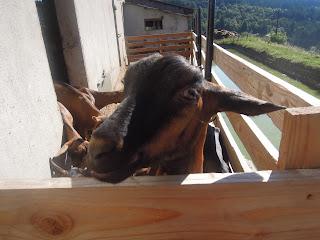 goat in pen