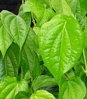 Sirih kuning || jual sirih kuning | tanaman rambat | tanaman bermanfaat