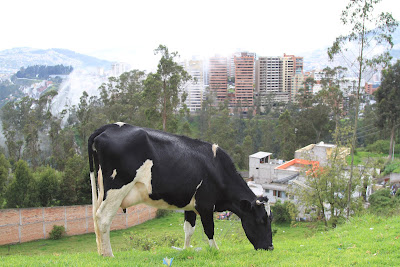 A Cow Graze With Quito in the Background