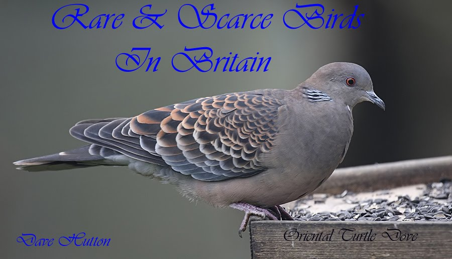Rare & Scarce Birds In Britain