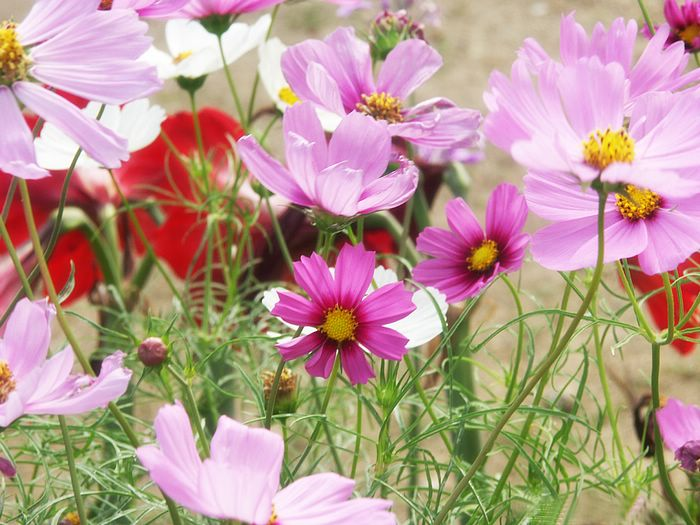flowers for flower lovers.: Cosmos flowers wallpapers.
