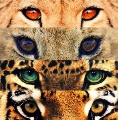Eyes Of The Big Cats