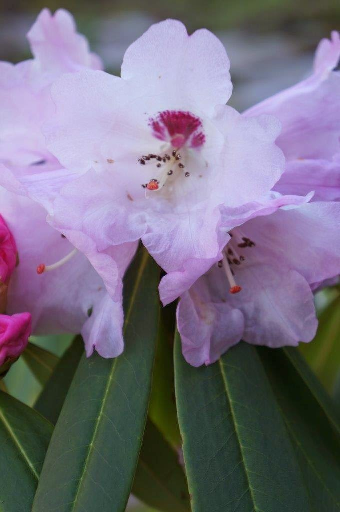 pretty light pink rhododendron