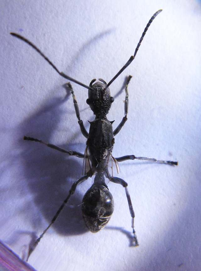 Dealate of a slim Polyrhachis ant
