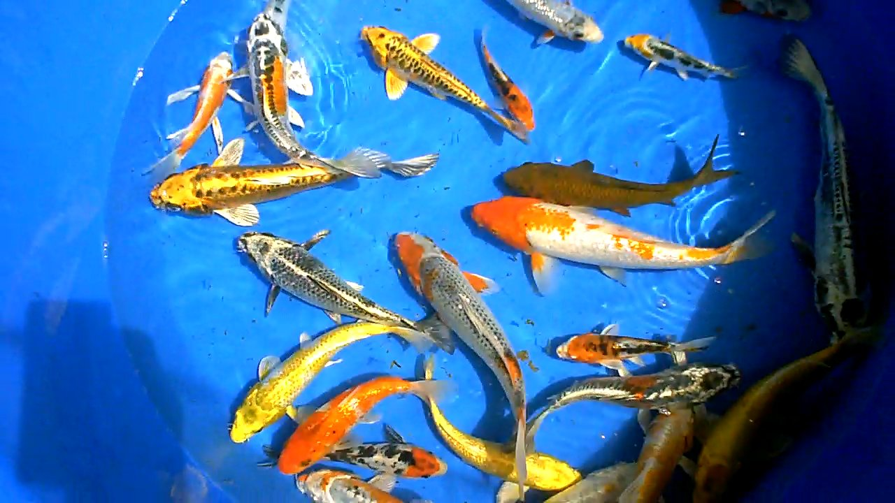 The blackwater blog redland koi delivery and now for sale for Koi hatchery