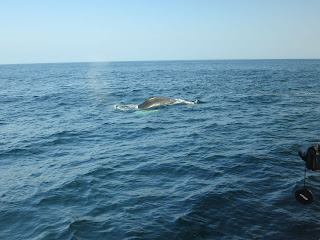 Whale watching in New England - click for more photos
