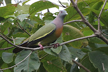 Pink-necked Green Pigeon_2011