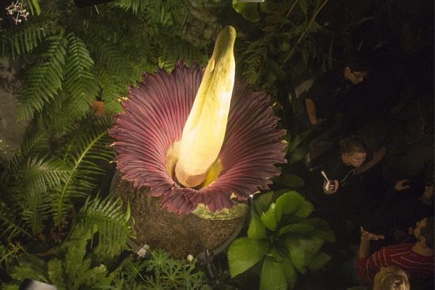 Blooming Titan Aurum