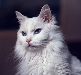 turkish angora information pet cats photo