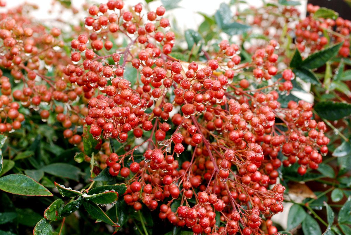 Il mondo in un giardino a proposito di bacche nandina domestica - Arbusti da giardino ...
