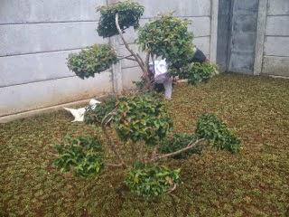 Jual pohon sianto | suplier tanaman | tanaman hias | tanaman bonsai | jasa desain taman