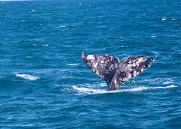 Gray Whale Fluke