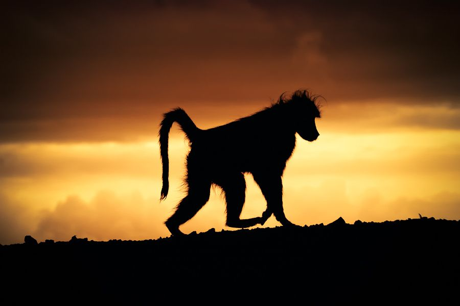 9. Baboon at Sunset by Mario Moreno