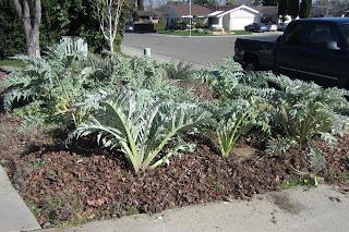 artichoke plants in garden