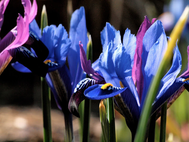Iris Reticula with a Hint of Purple Gem, Central Park, Conservatory Garden, NYC