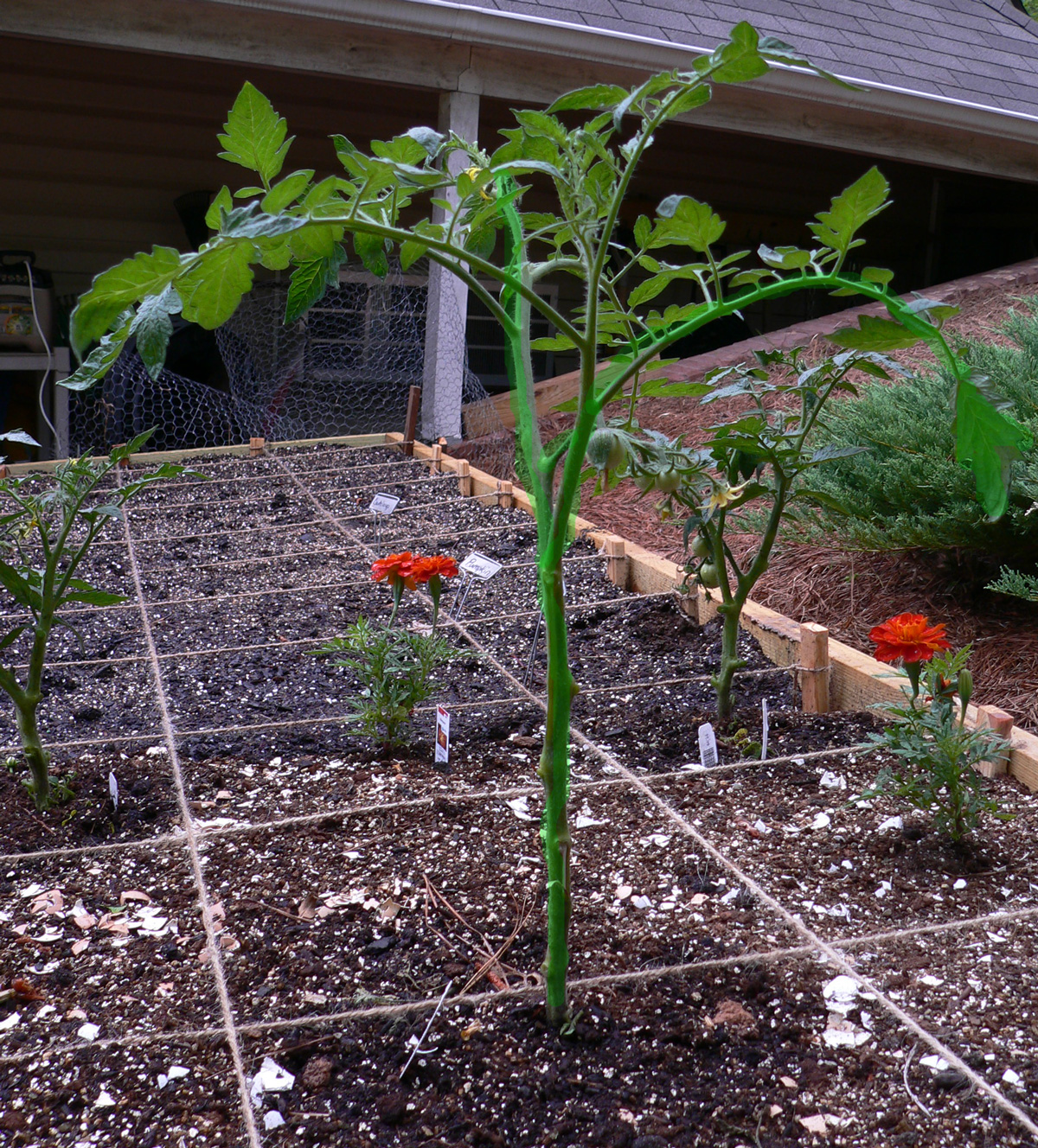 Here Is That Same Tomato Plant After I Pruned It Monday Morning.