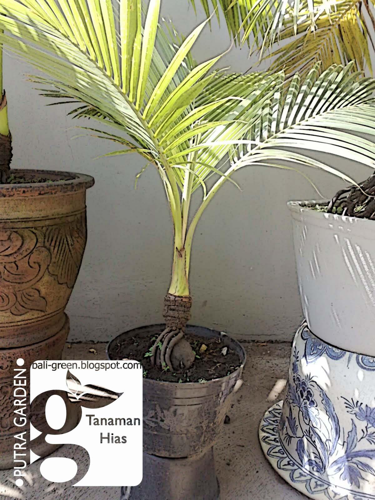 Putra Garden Bali Tips 5 Langkah Mudahudah Membuat Bonsai Kelapa
