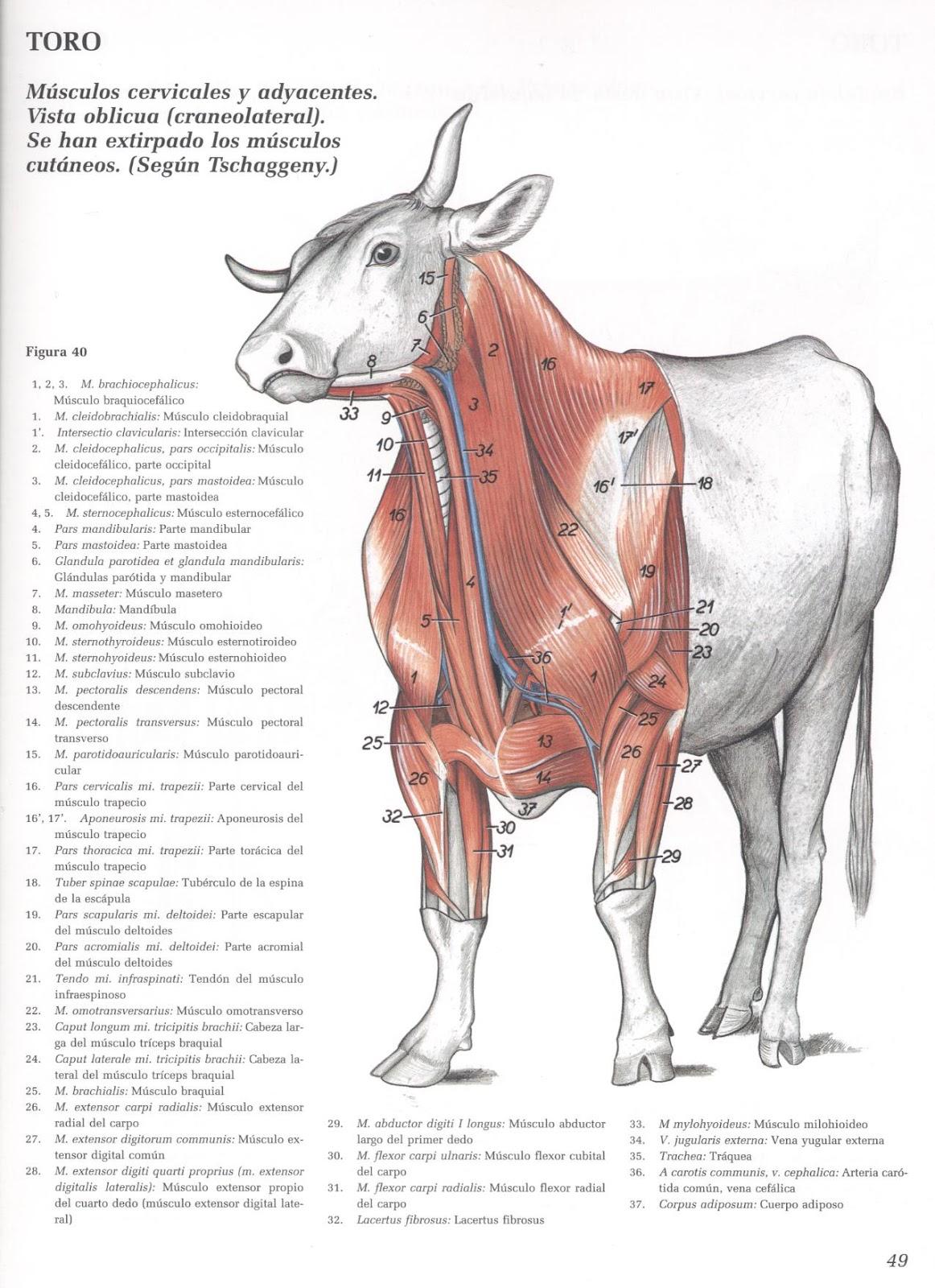 Medicina Veterin Ria Anatomia Jpeg Courtesy