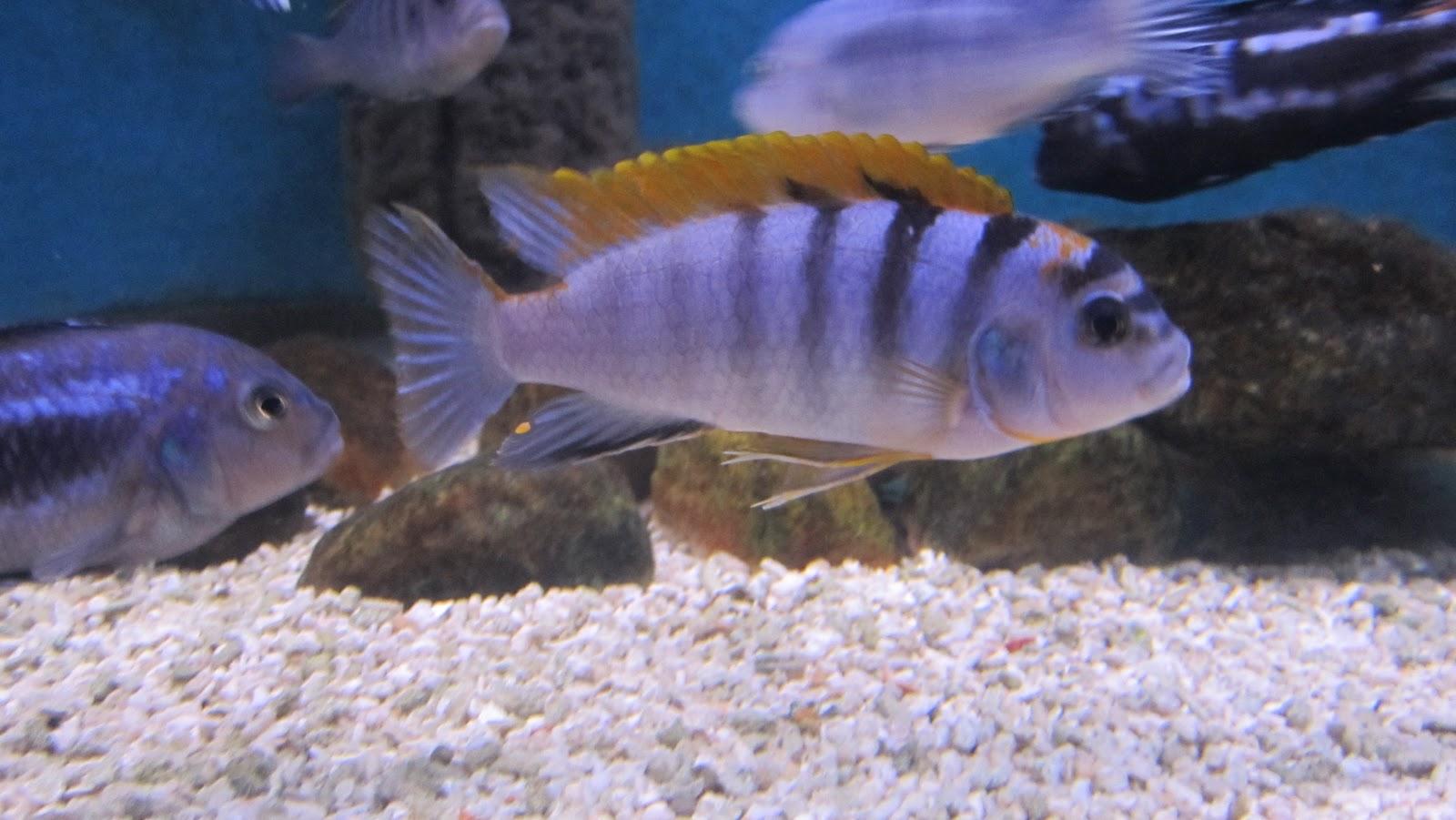 ... hongi labidochromis sp hongi labidochromis sp hongi labidochromis sp
