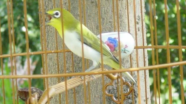 Download Mp3 Suara Kicau Burung Pleci Gacor Ngeplong Ngerol Juara Satu Nasional