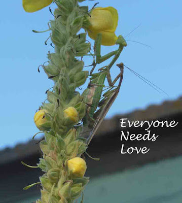 Praying Mantis Pair Mating on Mullein at the End of October, ©B. Radisavljevic