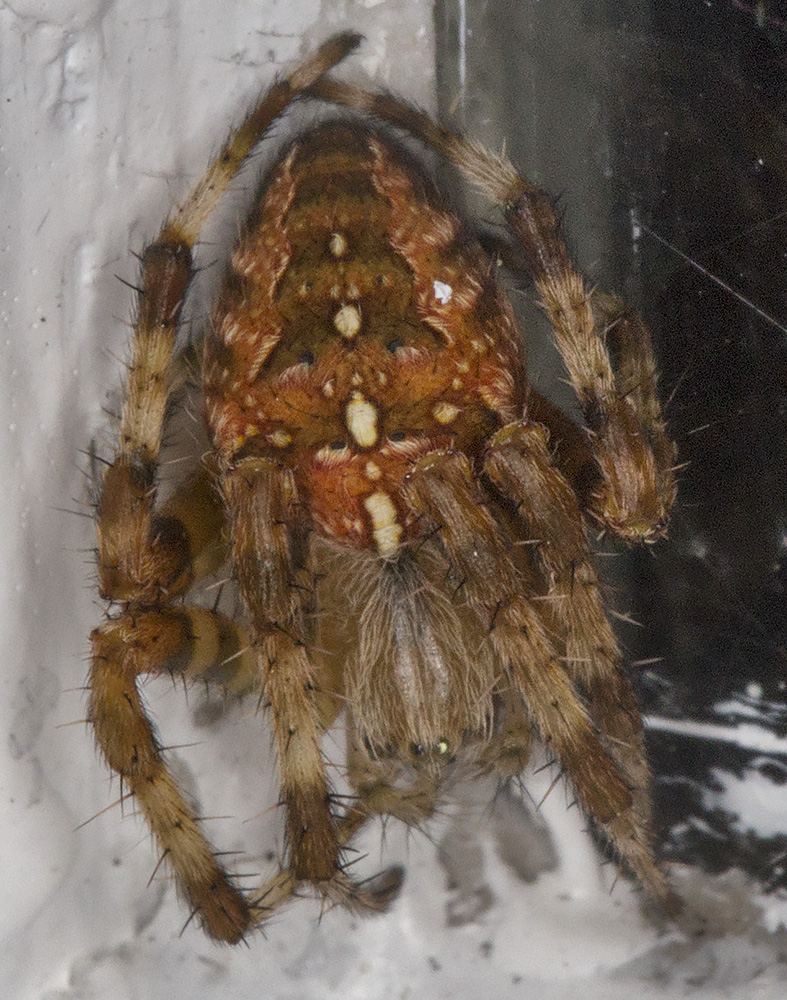 Garden Spider, Araneus diadematus.  Near my garden light trap in Hayes on 14 September 2014.