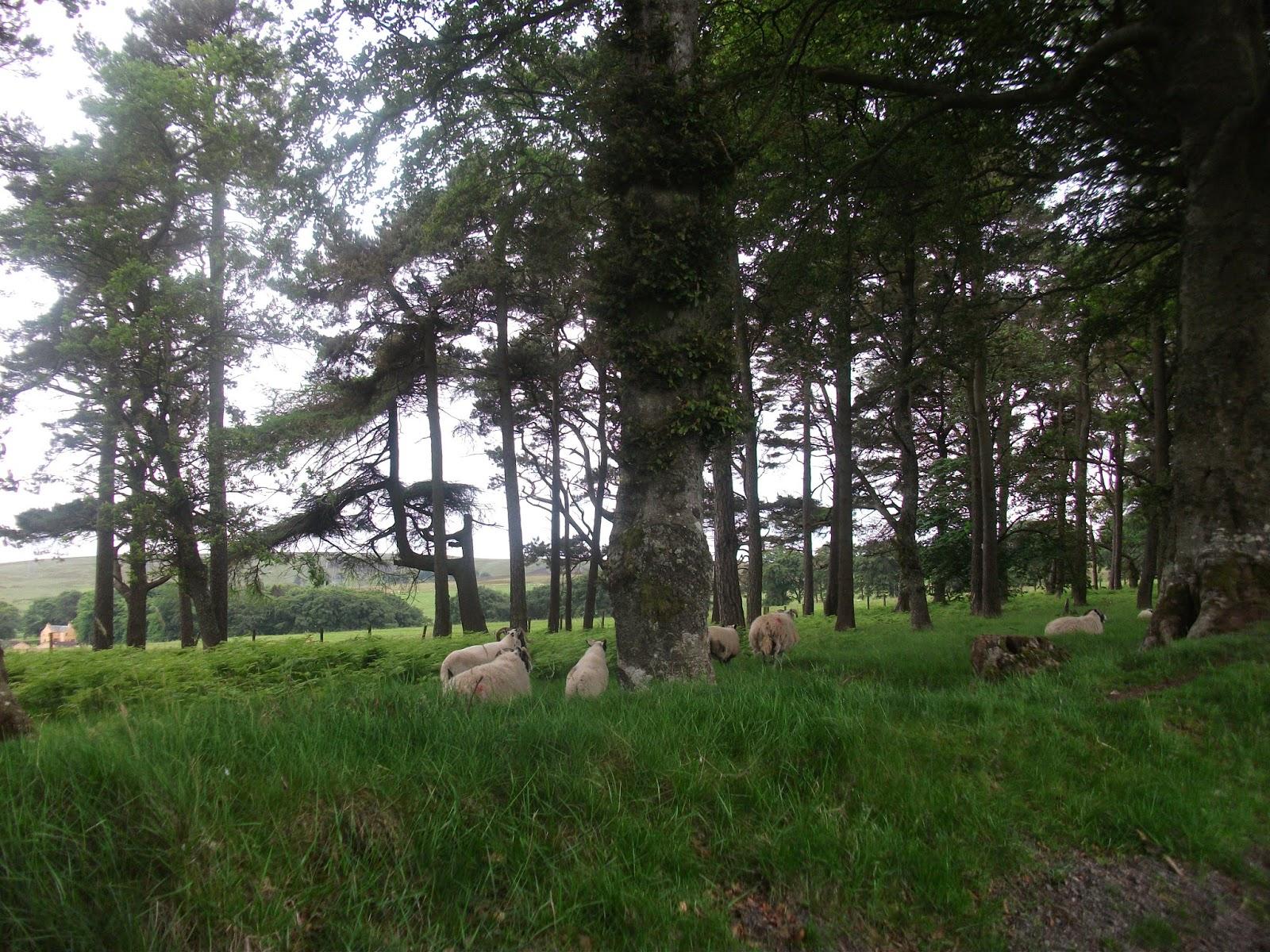 Several Sheep!