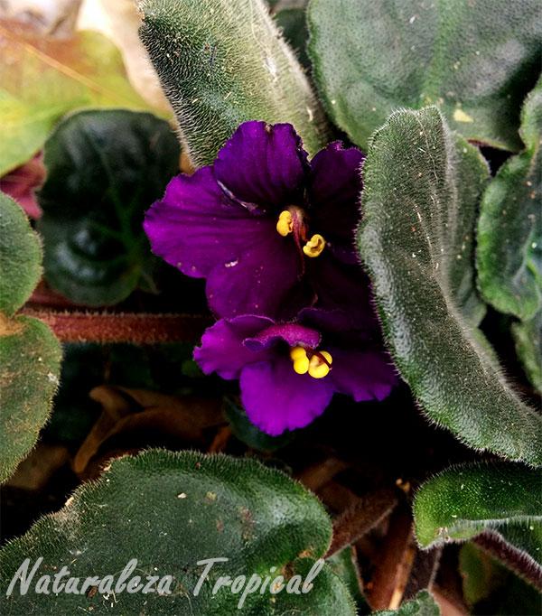 Variedad púrpura de las flores de la violeta africana, género Saintpaulia
