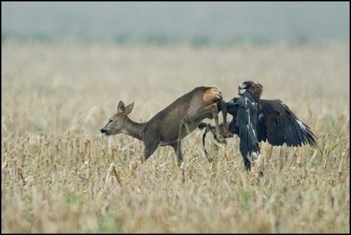 Harpy eagle hunting monkey - photo#20