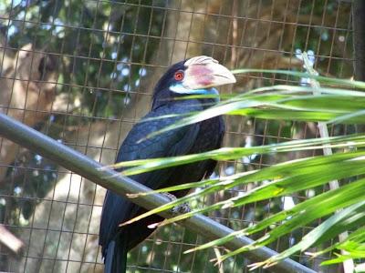 Cálao de la Sumba: Aceros Rhyticeros everetti