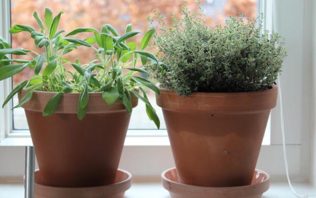 Havedagbogen: krydderurter i vindueskarmen