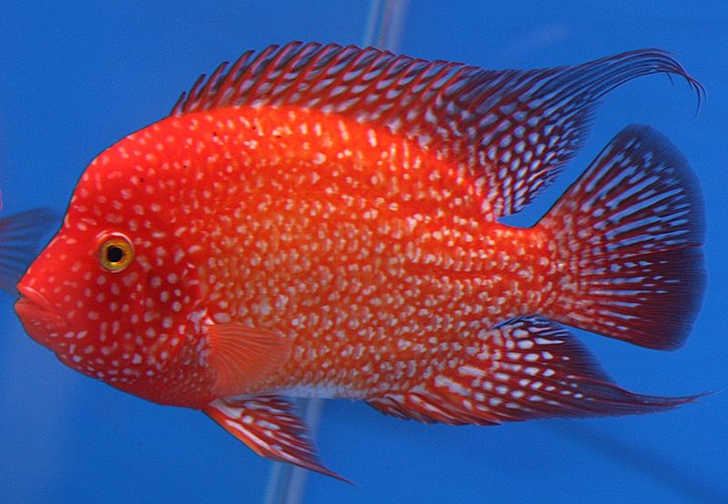Stop Tiger Oscar Fighting Other Fish 3821 in addition Fish 9XGD24EoiagwM together with Watch also Cichlids Fish besides 155026. on oscar fish tank size