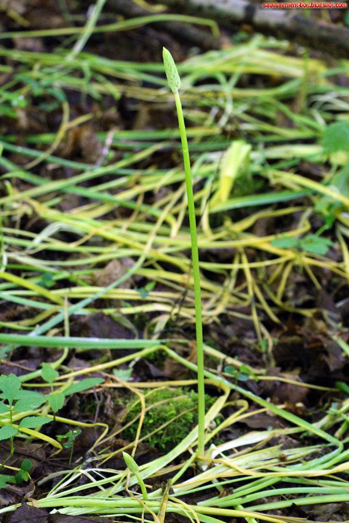 Sauvagement bon les voil for Amaryllis ne fait que des feuilles
