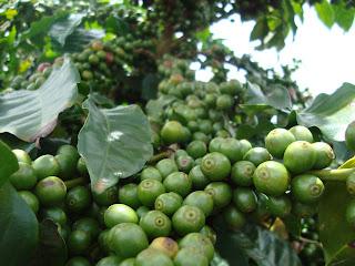 Novo instrumento de governo e tecnologias avançadas de irrigação aumentam a produtividade do café brasileiro. Foto: Antônio Felipe Guimarães Leite