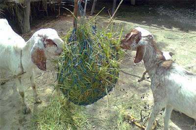 Grazing of the Goats