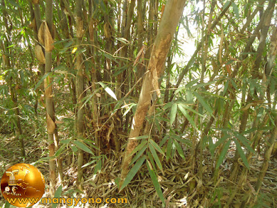 Memilih jam, hari, bulan yang tepat untuk menebang bambu
