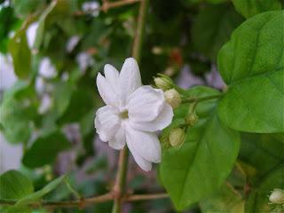 Jasmine for health benefits