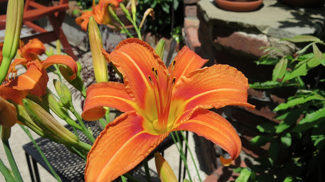 Long-Island-Tiger-Lilies