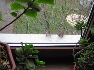 воробьи, воробьи на подоконнике, птицы на подоконнике, птицы клюют хлеб
