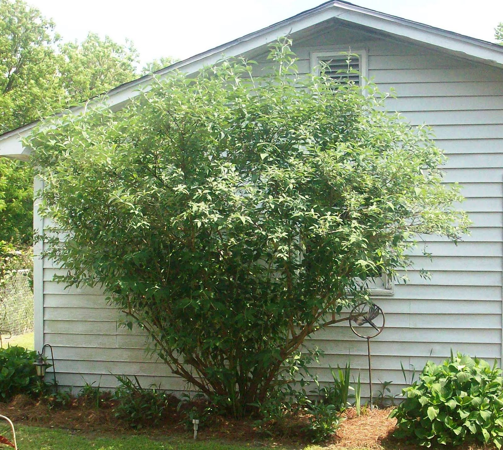 Dawn 39 s garden butterfly bushes can get very large for Large bushes for landscaping