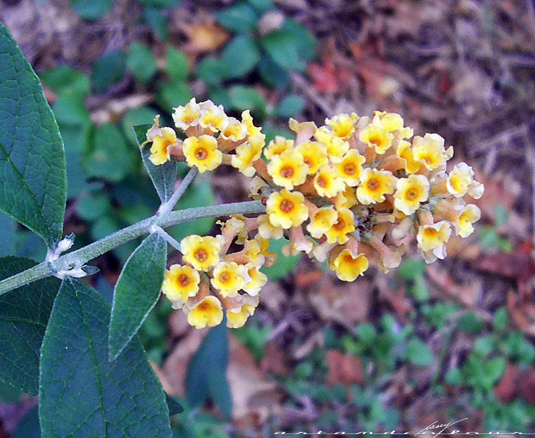 My Yellow Butterfly Bush Still Has A Few Pretty Blooms On It. Since I  Planted It In July, This Bush Has Tripled In Width But Hasnu0027t Gotten Much  Taller.