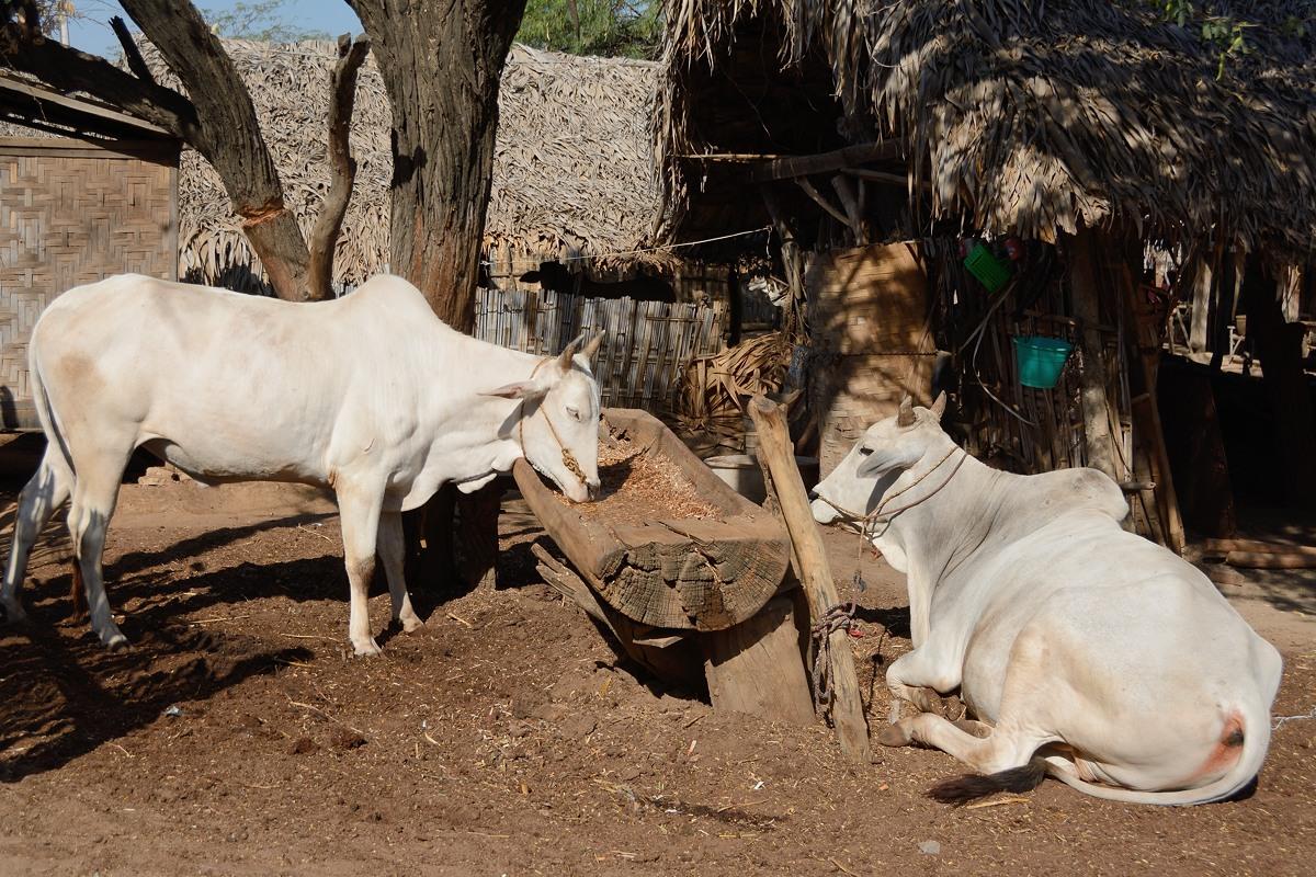 Oxen in Min Nan Thu village at Nyaung U near Bagan, Myanmar