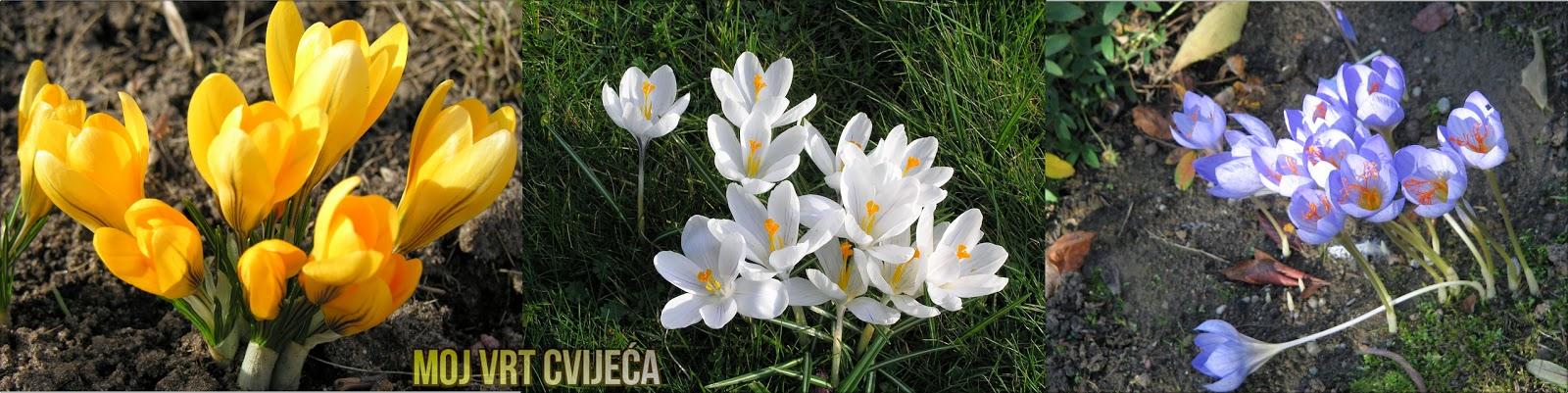 Krokus (Crocus) prvi vijesnik proljeća - Moj Vrt Cvijeća