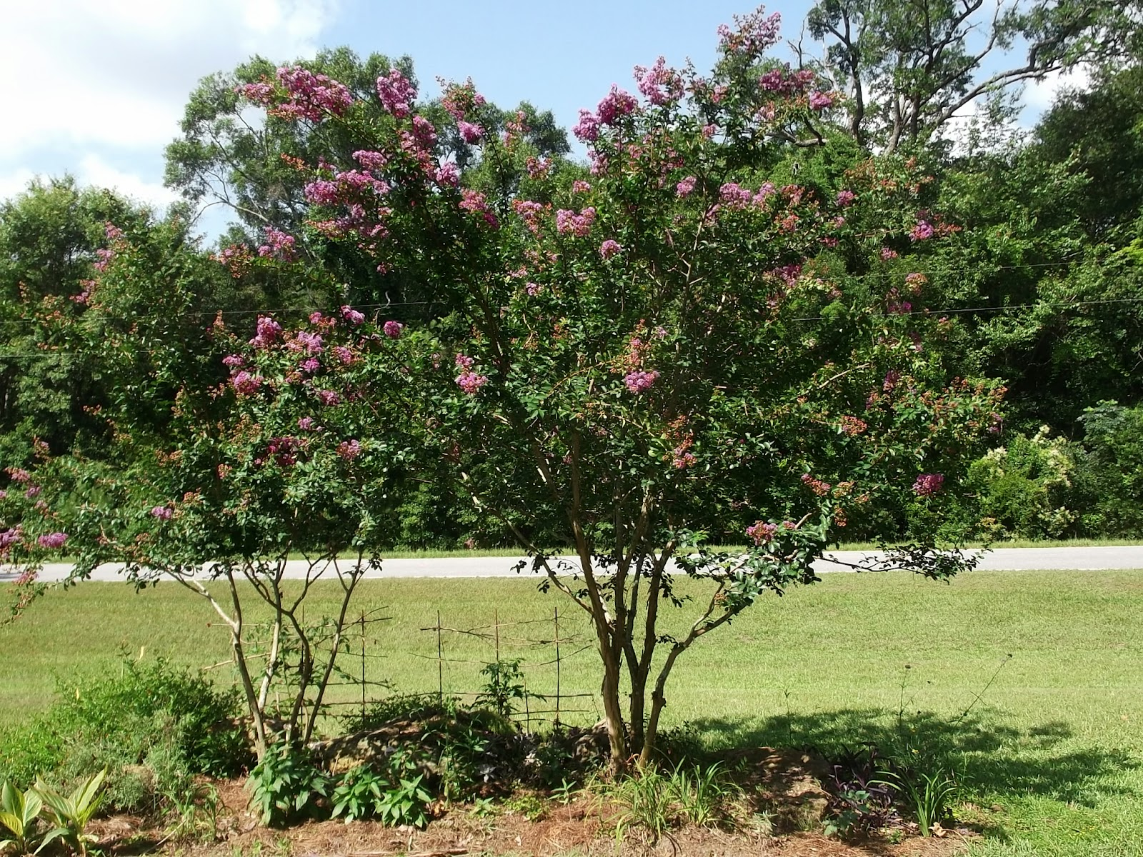 Secrets of a Seed Scatterer: Lagerstroemia indica: 5 Reasons for ...
