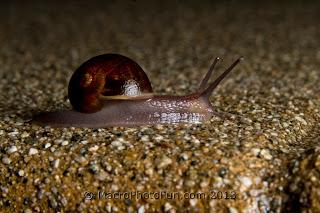 macro photo snail