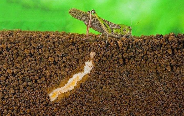 How a locust lays eggs (7 pics), locust laying eggs process